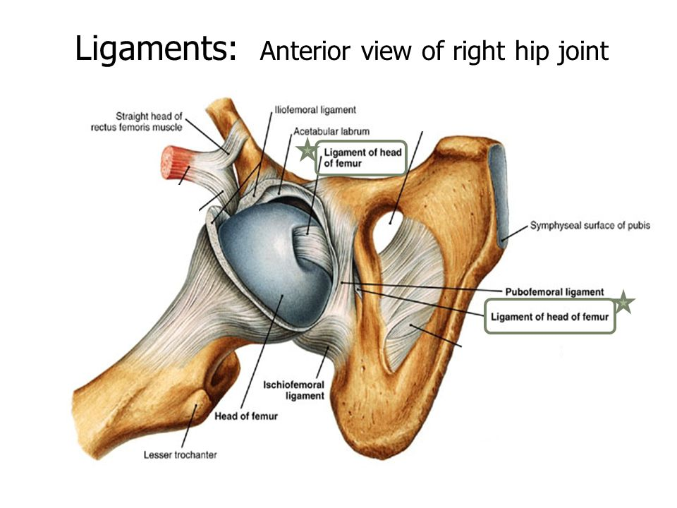 Presentation Hip Joint By: Aaron White, Ashley Garbarino, Anna ...