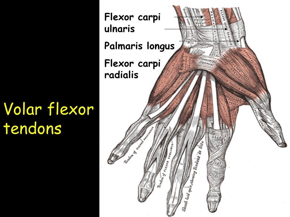 Volar Hand Anatomy Images - human body anatomy