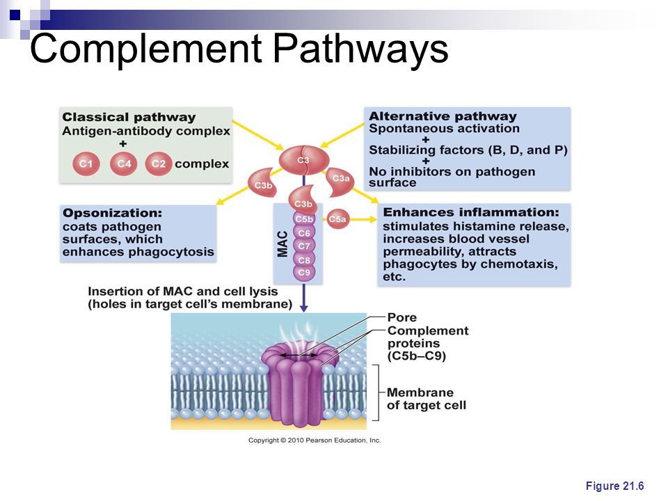 Complement Pathways Figure 21.6