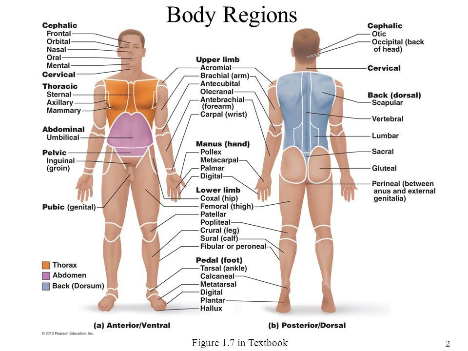Encantador A&p Anatomy And Physiology Imagen - Anatomía de Las ...