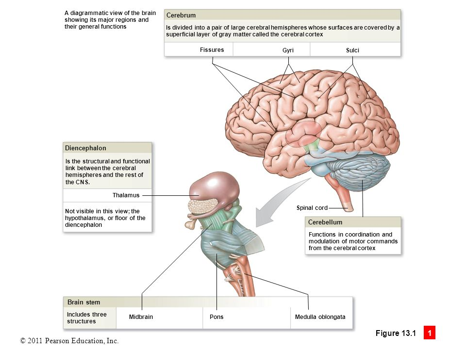 13 The Brain and Cranial Nerves. - ppt download