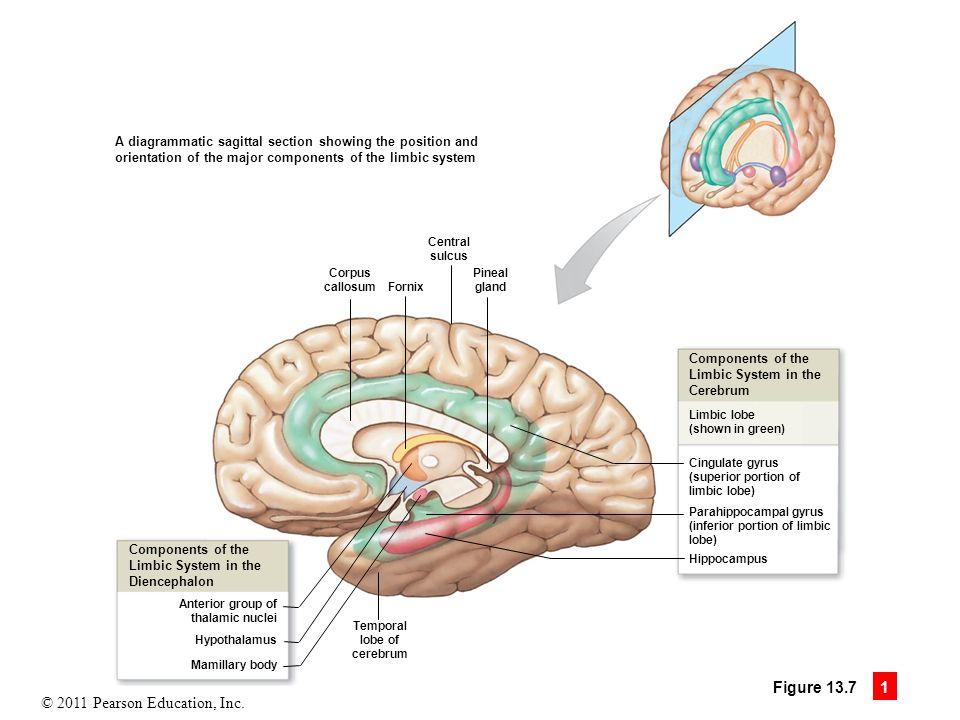 Sagittal brain diagram limbic system electrical work wiring diagram 13 the brain and cranial nerves ppt download rh slideplayer com basic brain diagram brain stem diagram ccuart Gallery