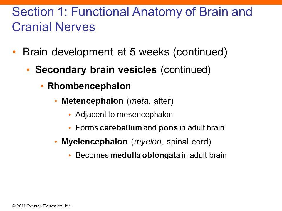 Cerebellum Functional Anatomy Images - human body anatomy