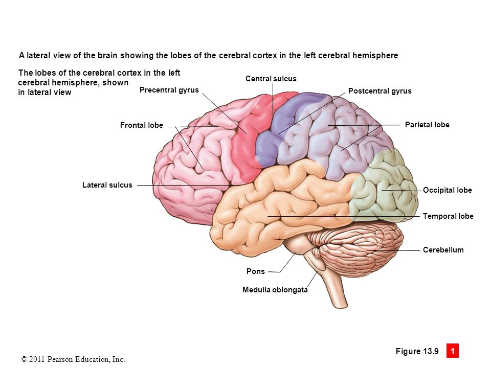 13 the brain and cranial nerves ppt download 94 the lobes of the cerebral cortex in the left a lateral view of the brain ccuart Choice Image