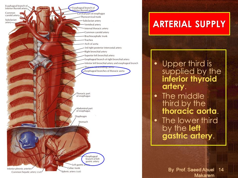 ARTERIAL SUPPLY Upper third is supplied by the inferior thyroid artery. The middle third by the thoracic aorta.