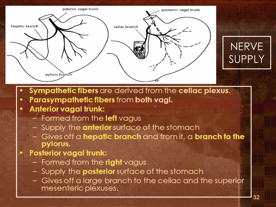 NERVE SUPPLY Sympathetic fibers are derived from the celiac plexus.