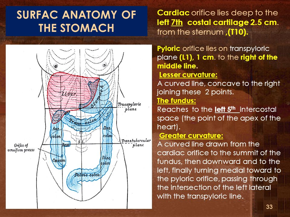 SURFAC ANATOMY OF THE STOMACH