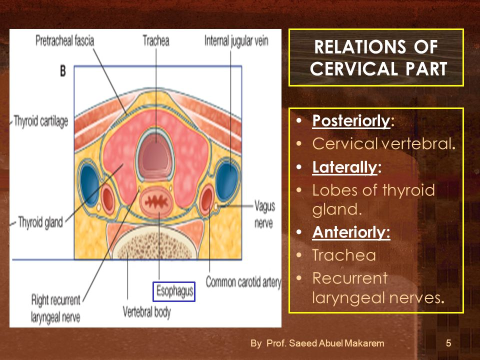 RELATIONS OF CERVICAL PART