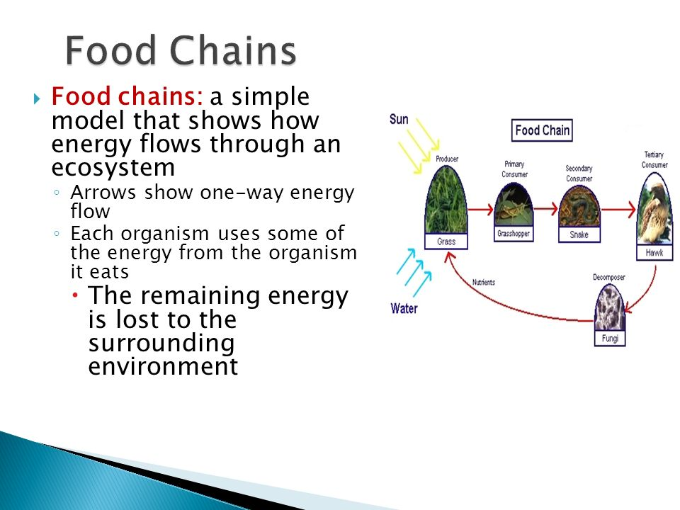 Food Chains Food chains: a simple model that shows how energy flows through an ecosystem. Arrows show one-way energy flow.
