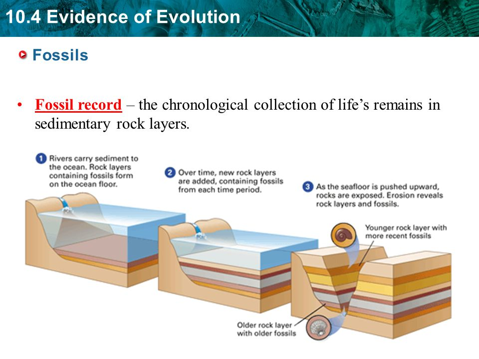 Fossils Fossil record – the chronological collection of life's remains in sedimentary rock layers.