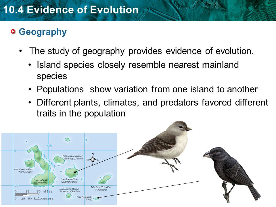 Geography The study of geography provides evidence of evolution. Island species closely resemble nearest mainland species.