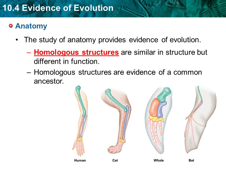 Anatomy The study of anatomy provides evidence of evolution. Homologous structures are similar in structure but different in function.