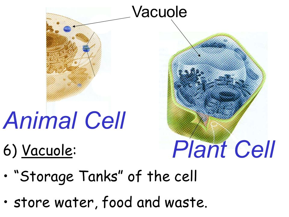Cell structure function notes ppt video online download 23 animal ccuart Gallery
