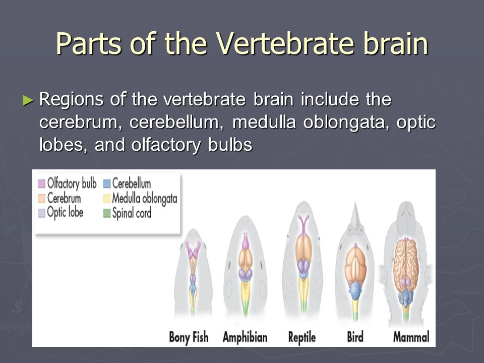 Animal systems ii chapter ppt download parts of the vertebrate brain ccuart Images