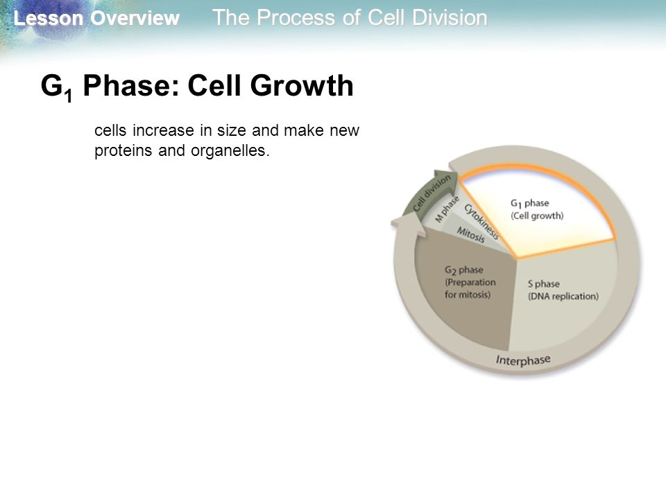 G1 Phase: Cell Growth cells increase in size and make new proteins and organelles.