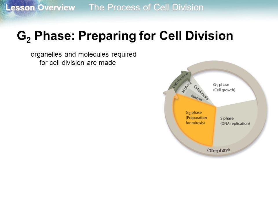 G2 Phase: Preparing for Cell Division