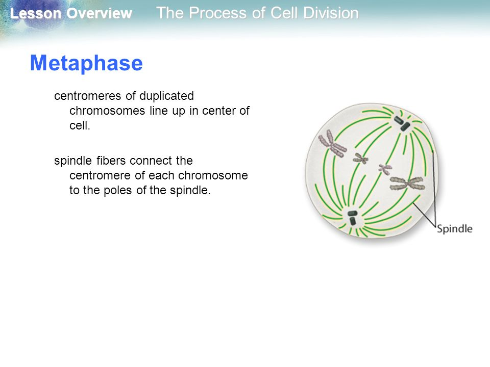 Metaphase centromeres of duplicated chromosomes line up in center of cell.