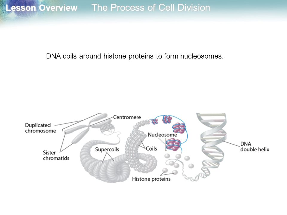 DNA coils around histone proteins to form nucleosomes.