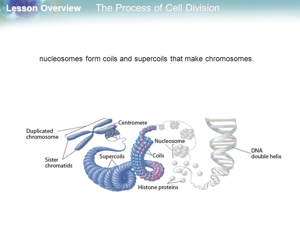 nucleosomes form coils and supercoils that make chromosomes.