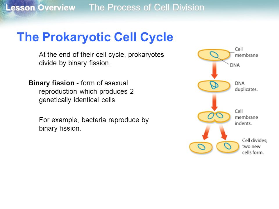 The Prokaryotic Cell Cycle