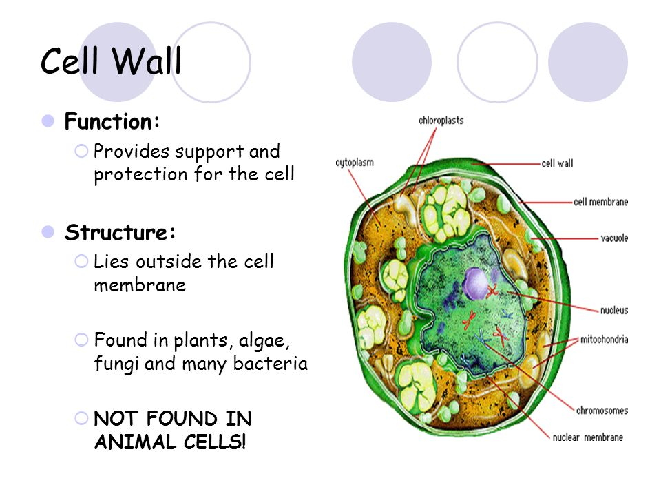 Simple algal cell diagram wiring cell structure and function ppt video online download simple turbo diagram simple algal cell diagram ccuart Image collections
