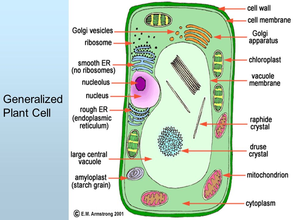 cell structure transport ppt download rh slideplayer com generalised animal cell diagram