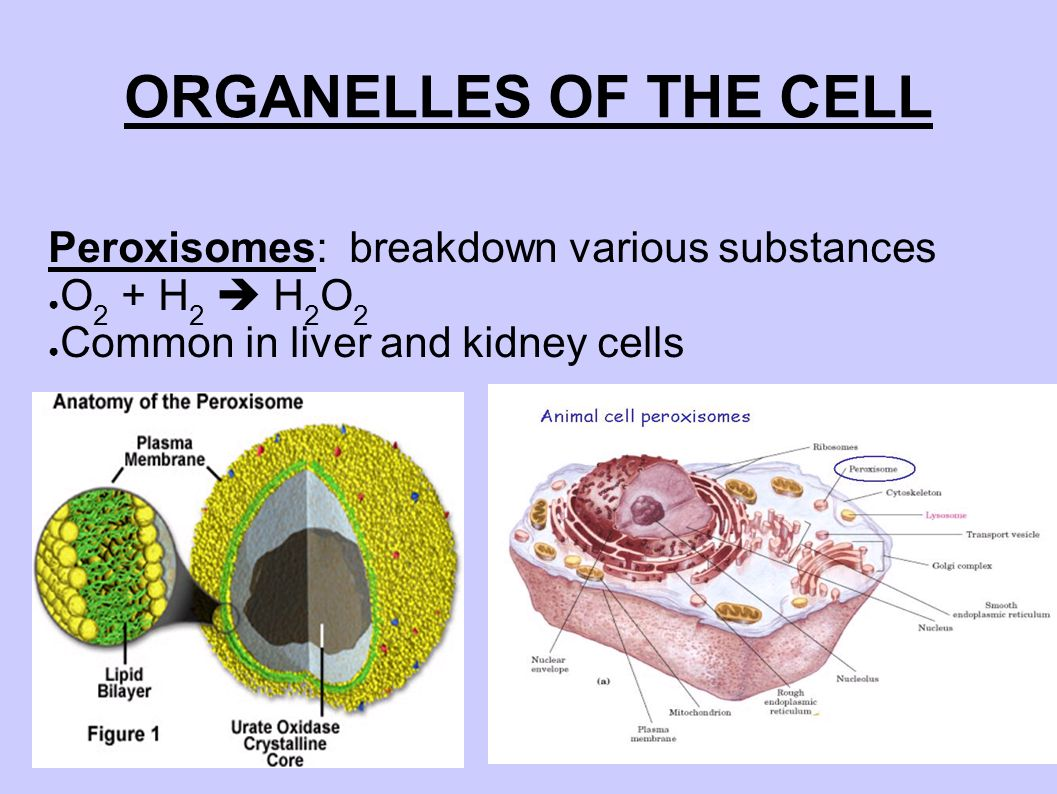 describe four organelles or structures that all eukaryotic cells have in common in addition describe Eukaryotic cells also contain one or more dark-staining structures within the nucleus called nucleoli although they are not enclosed within a separate membrane the nucleoli are complexes with separate granular and fibrillar regions.