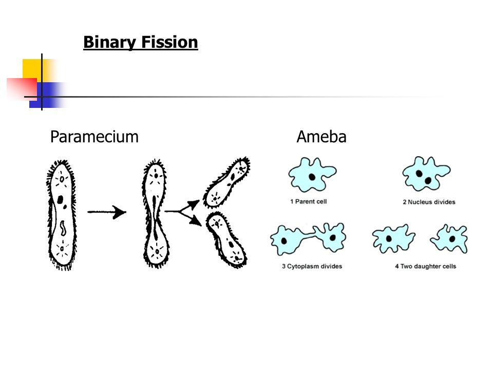 Paramecium Binary Fission Diagram Binary Fission Paramecium Confocal