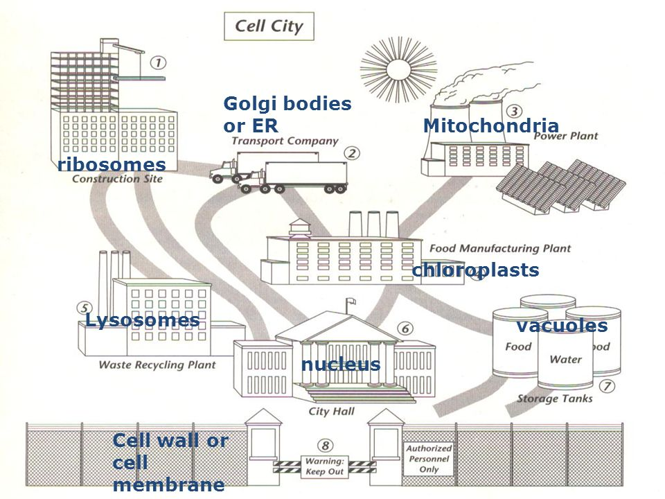 Diagram of a cell city wiring diagram portal cells ppt video online download rh slideplayer com diagram of a cell membrane diagram of a cell pdf ccuart Images
