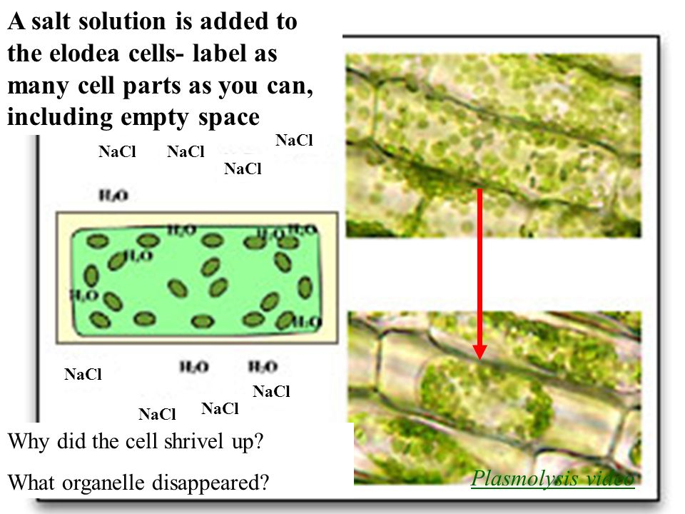 label diagram of elodea cells wiring diagrams baseinterest grabber are all  cells alike? ppt video