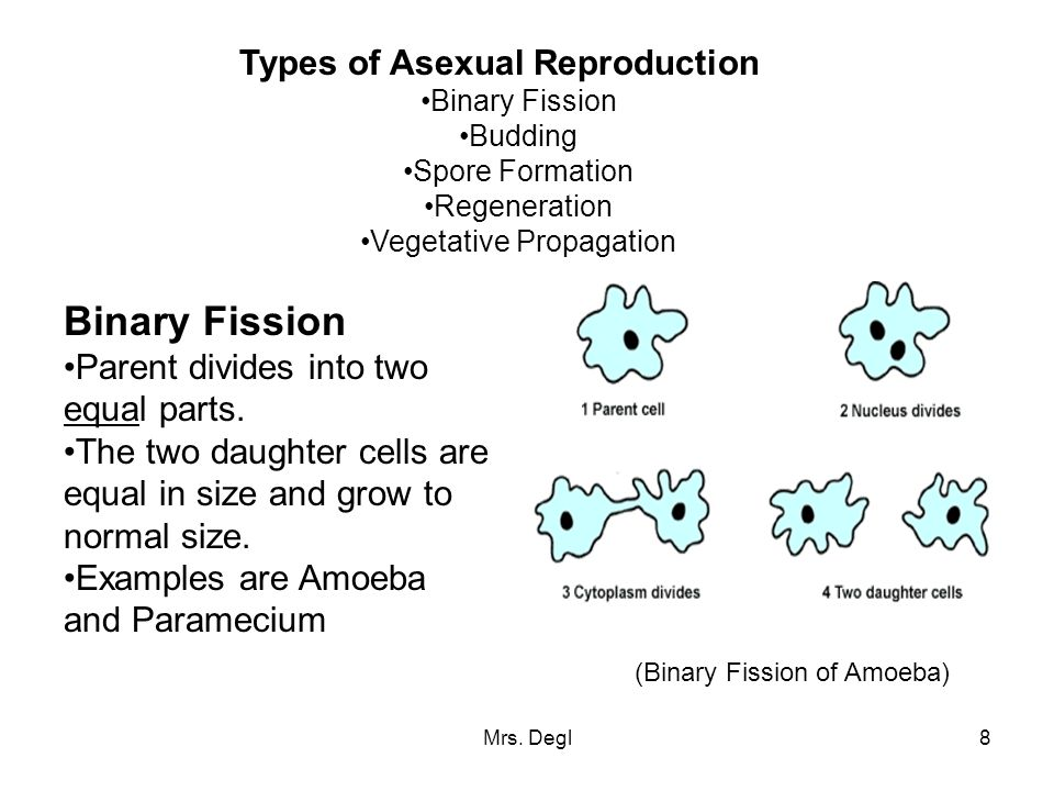 Cell division and asexual reproduction regeneration