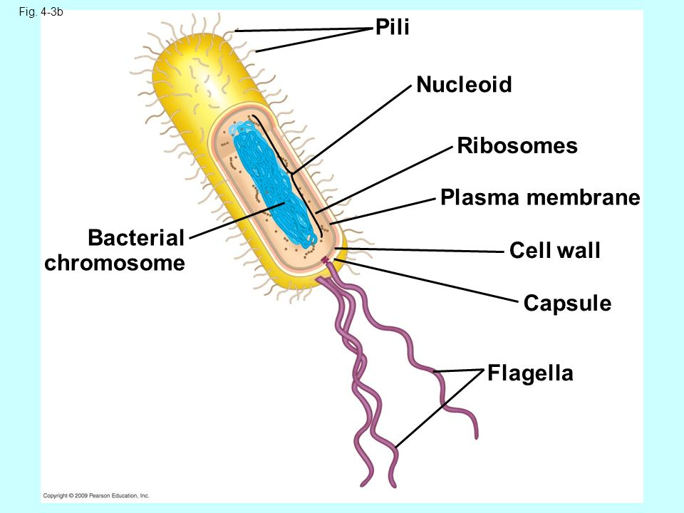 Chapter 4 cell structure and function ppt video online download pili nucleoid ribosomes plasma membrane bacterial chromosome cell wall ccuart Images
