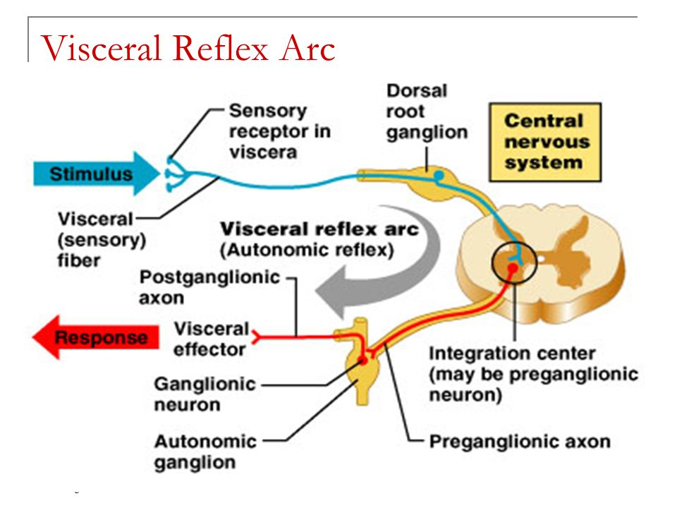Chapter 15 the autonomic nervous system ppt download 40 visceral reflex arc copyright 2005 pearson education inc publishing as benjamin cummings ccuart Gallery