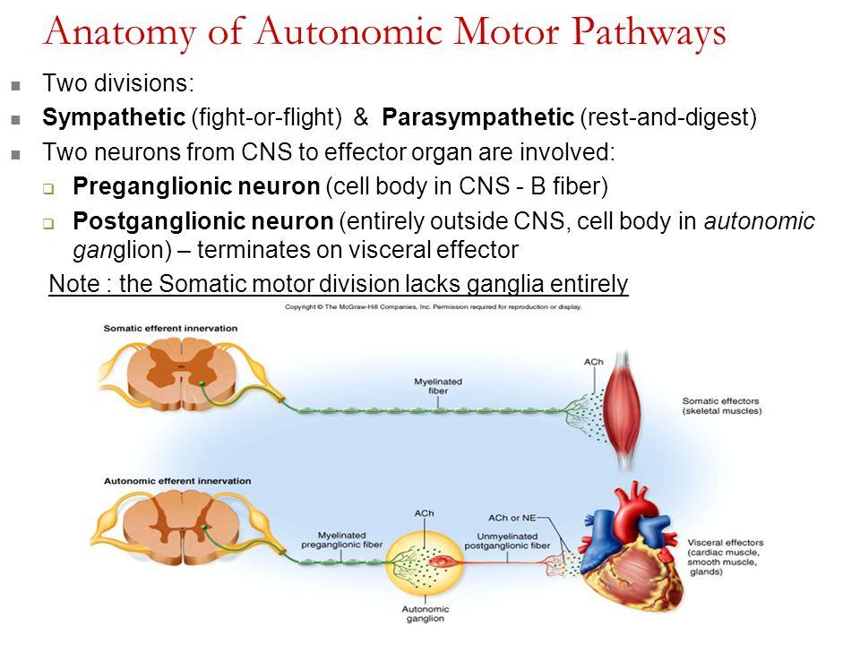 Chapter 15: The Autonomic Nervous System - ppt download