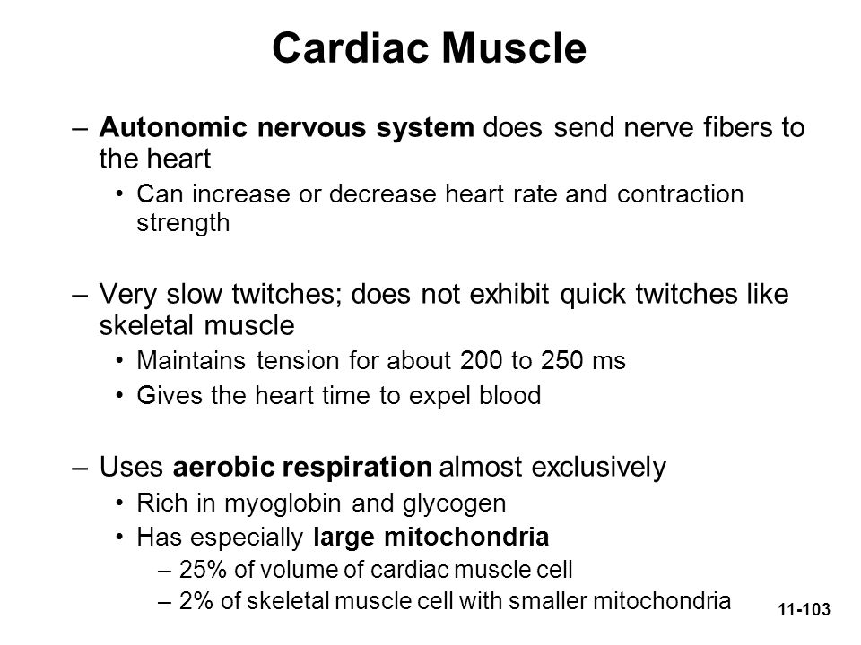 Cardiac Muscle Autonomic nervous system does send nerve fibers to the heart. Can increase or decrease heart rate and contraction strength.