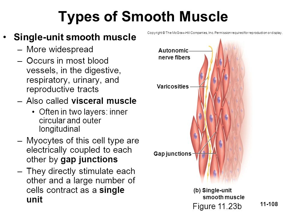 Types of Smooth Muscle Single-unit smooth muscle More widespread