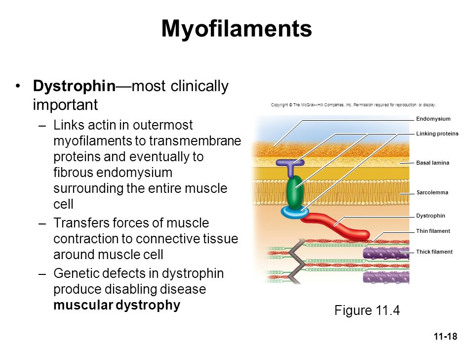 Myofilaments Dystrophin—most clinically important