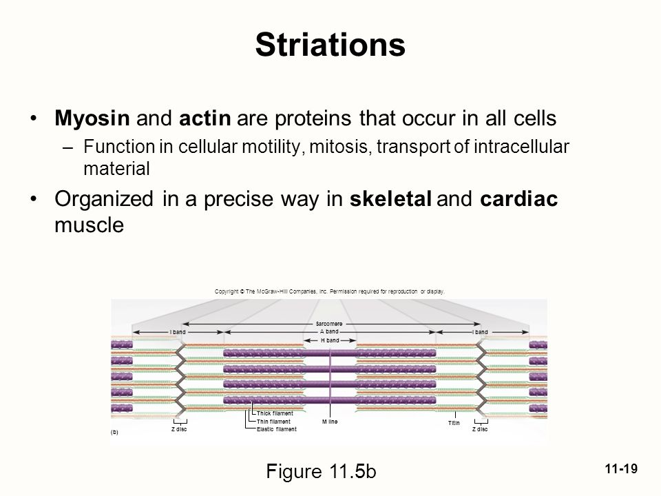 Striations Myosin and actin are proteins that occur in all cells