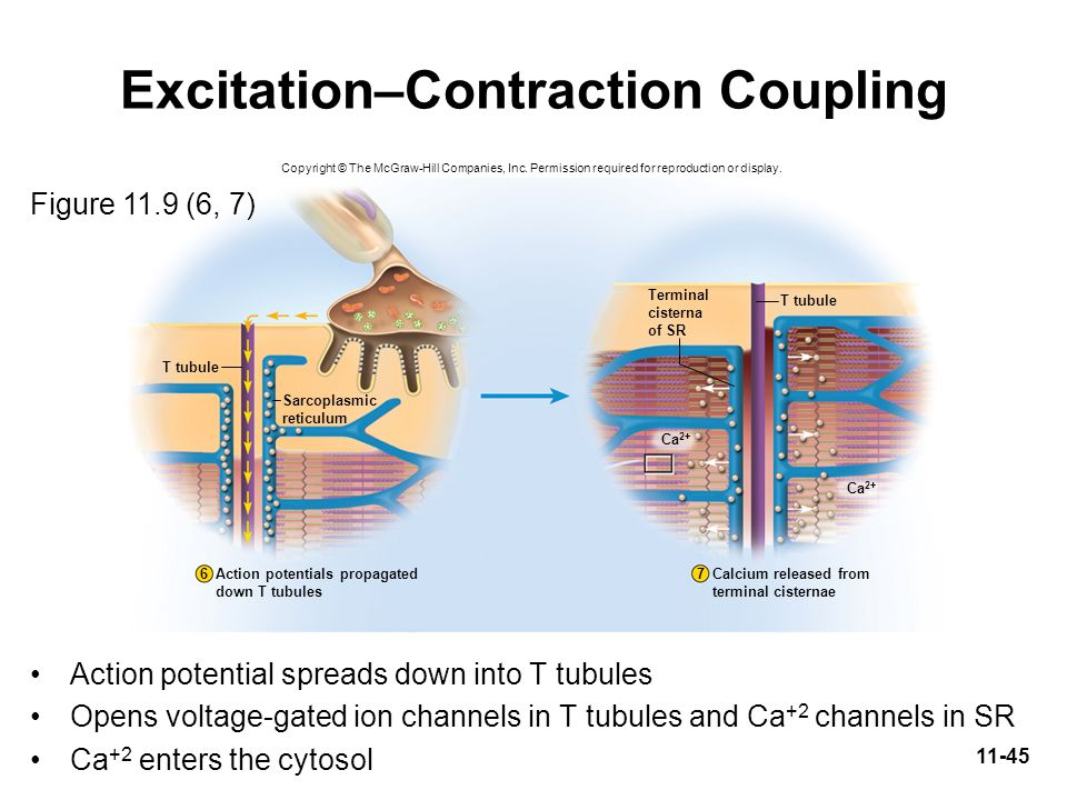 Excitation–Contraction Coupling