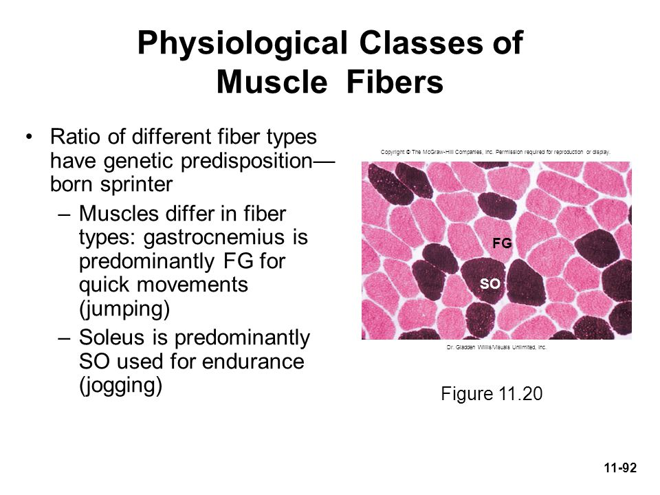 Physiological Classes of Muscle Fibers