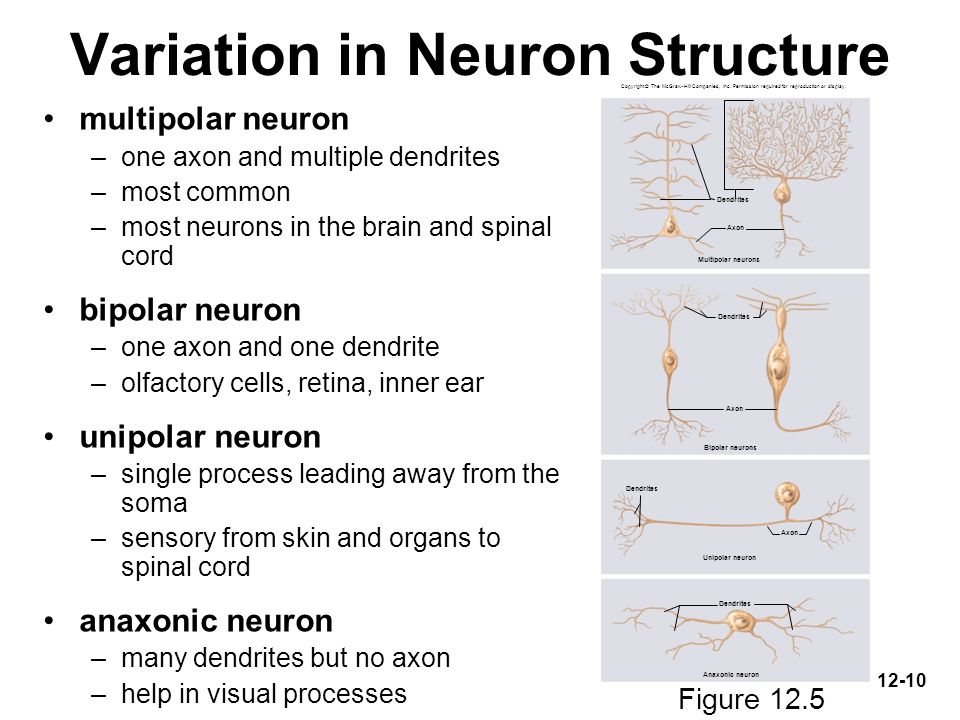 Multipolar Neuron Spinal Diagram - Application Wiring Diagram •