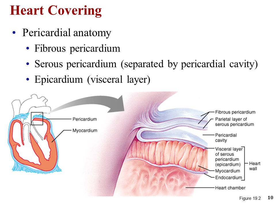 Fine Anatomy Of The Pericardium Image Collection Anatomy And
