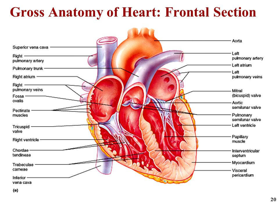 Unique Gross Anatomy Of The Heart Gift - Human Anatomy Images ...
