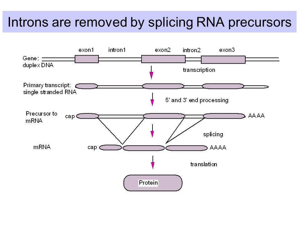 Introns are removed by splicing RNA precursors