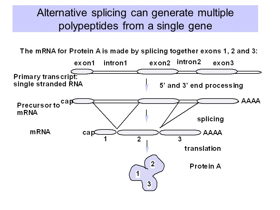 Alternative splicing can generate multiple polypeptides from a single gene