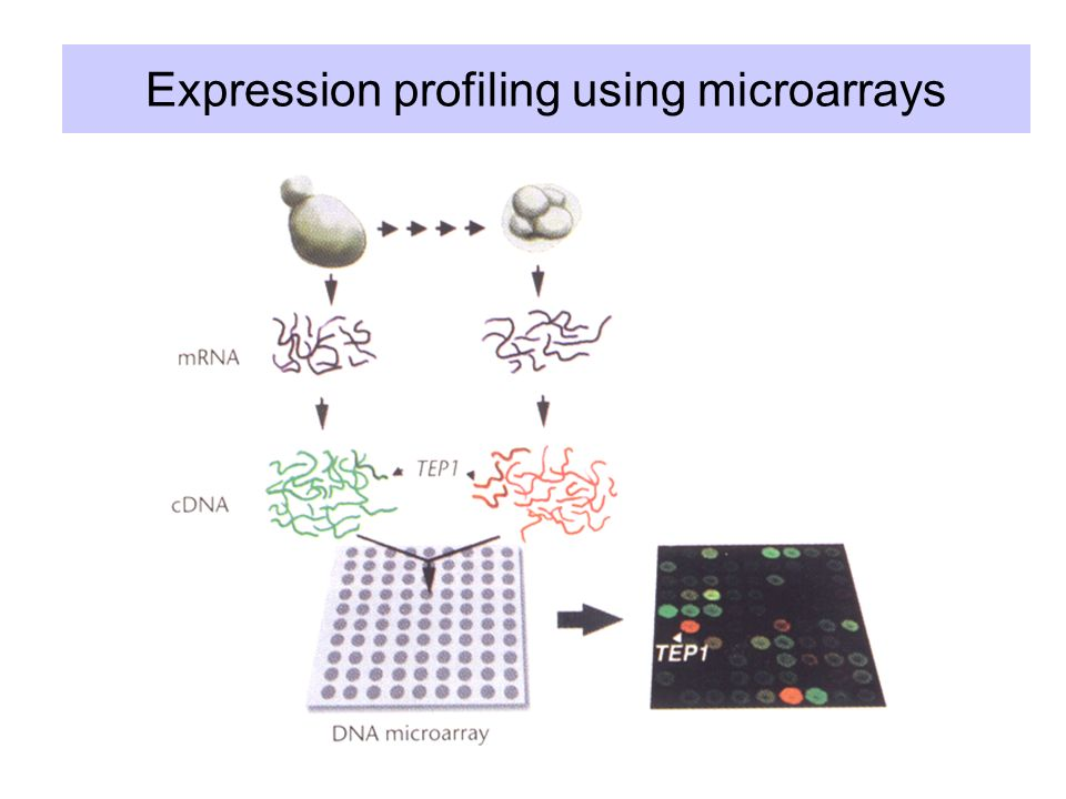 Expression profiling using microarrays