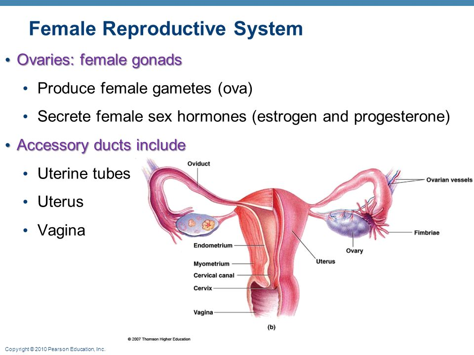 Female reproductive system illustrations.