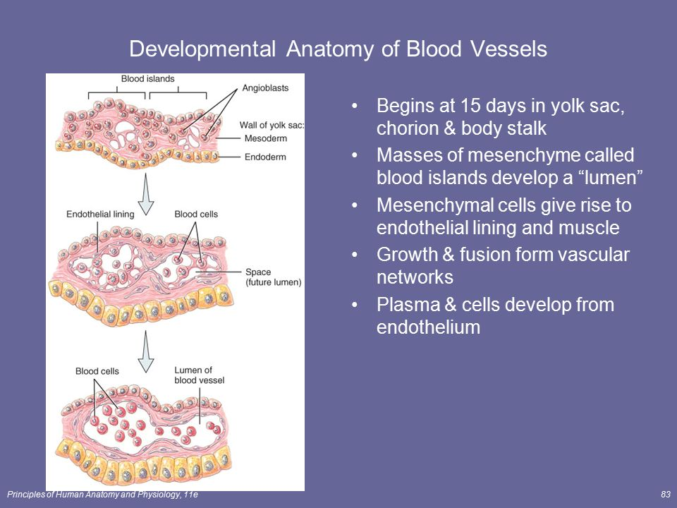 The Cardiovascular System: Blood Vessels and Hemodynamics - ppt download