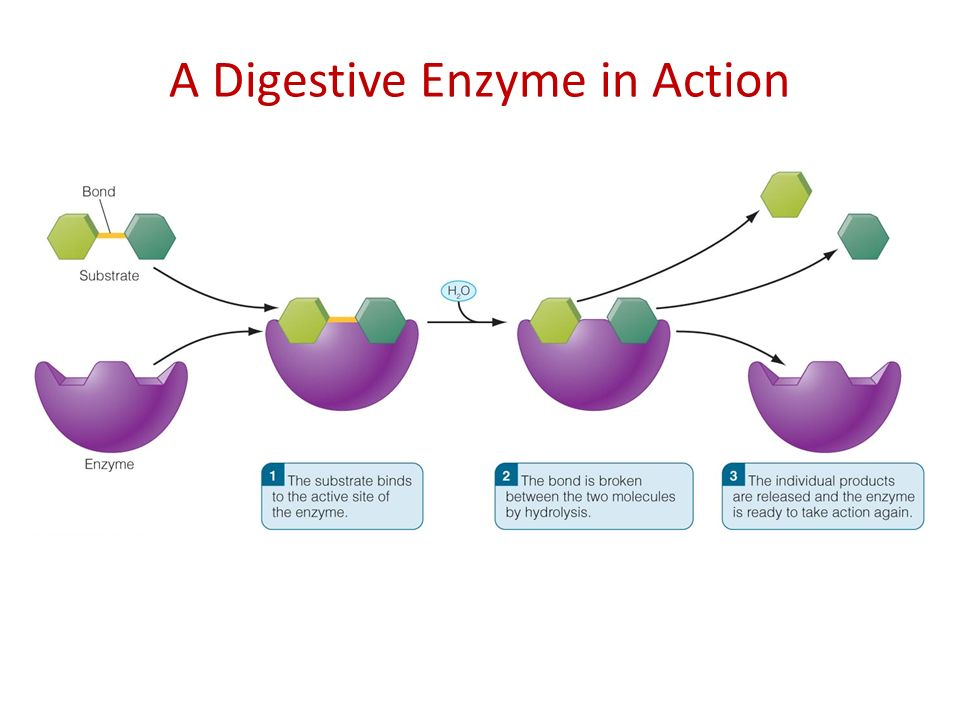 enzymes amp bacteria yeast parasites enzymestuff site
