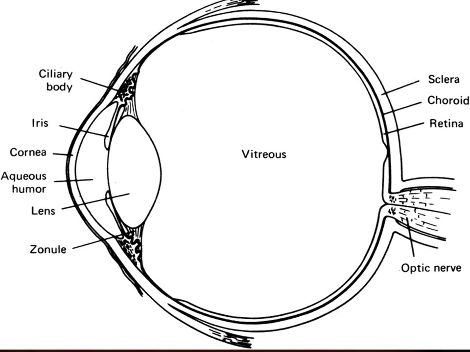 ANATOMY OF THE LENS Gross Anatomy The lens is an intraocular ...